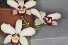 Blc. Haw Yuan Beauty (Plinio Fabbro) Tags: flor flores orquídeas exposição rio claro flower orchids