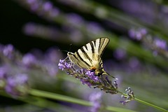 Papillon sur son piedestal (benjamin urbain) Tags: macro extérieur nature fleur lavande insectes d3300 papillon flambé