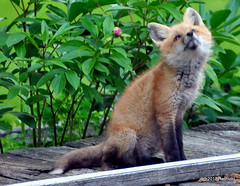 DSC_0722 (rachidH) Tags: fox renard vulpes foxcub renardeau redfox renardroux vulpesvulpes backyard frontyard wildlife sparta newjersey nj rachidh nature