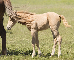 Milky Way wild horse with her mother (Explored) (Jami Bollschweiler Photography) Tags: wild horse onaqui herd wildlife west desert utah great basin stallion mare baby colt image wildflowers