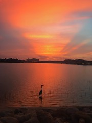 Waiting for the Sunrise (Thanks for over 2 million views!!) Tags: chadsparkesphotography centralflorida clouds sky sunrise sunlight scenic sevenseaslagoon egret bird water waltdisneyworld wdw wildlife reflections contemporaryresort disneyscontemporaryresort