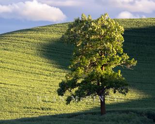 Palouse Blooming Locus Tree