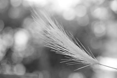 Depth of Field (andreea_mihailiuc) Tags: macro blackandwhite depthoffield nikon d3200 40mmf28 plant andreealoredanamihailiuc focus outdoor sunny summer flickr google chrome search