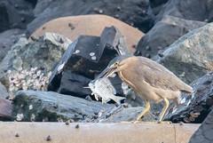 striated heron (Butorides striata)-2945 (rawshorty) Tags: rawshorty birds australia nsw portmacquarie