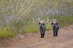 Hyena Pair (V I J U) Tags: 2016 africa kenya masaimara nature safari travel vijujose wildlife narok ke hyena pair ef500mmf4lisii canon5dmarkiii