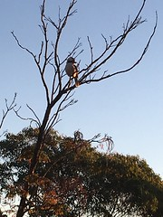Kookaburra, Australia (Erika Villa 1) Tags: laughingkookaburra beautifulbird sydney kookaburra