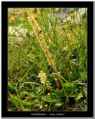 Wildflower .. any ideas? (Oul Gundog) Tags: wildflower wild orchid nendrum monastic site co down northern ireland mahee island ulster