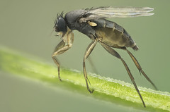 Phoridae.  Megaselia sp (dorolpi) Tags: