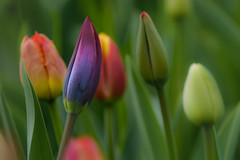 A Happy Place (janet.capling) Tags: tulips tulipfestival spring flowers color shapes ottawa ontario canada
