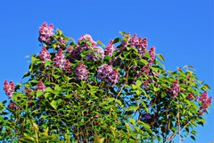 Looking up at the Lilac (JulieK (enjoying Spring in Co. Wexford)) Tags: hss lilac garden flower 100flowers2017 sliderssunday bluesky ireland irish wexford flora shrub pink bloom canoneos100d beautifulnature lowpov gard