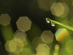 2 stardrops (srepton) Tags: nature raindrops green bokeh nikon stardrops water grass sparkle stars twinkle wet