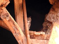 Great Horned Owl in mine 2 (David Bygott) Tags: usa arizona ruby bird mine