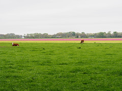 Cows and flowers. (Little Miss Clever Trousers) Tags: tulpen bollenstreek flowers tulipfields southholland
