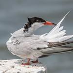 Common Tern thumbnail