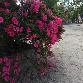 サツキ香る Fragrance of the azalea