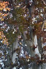 copper beech (ophis) Tags: fagales fagaceae fagus fagussylvatica europeanbeech copperbeech