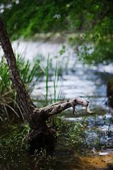 walk about Harris Lake 30 (furrycelt) Tags: harrislake newhillnc nikon85mmf14afd nikon85mmf14 northcarolina shearonharrisreservoir ianwilson jianwilson photographersoftumblr 85mm d600 nikon forest furrycelt lake lensblr natural nature trees water woods