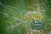 Natrix (natrix) helvetica (AlexandreRoux01) Tags: grass snake natrix couleuvre à collier helvetica