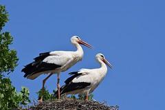 DSC_3092 (franckp64) Tags: cicognabianca ciconiaciconia whitestork cicogna stork oasideiquadris fagagna coppia nido birds oasi
