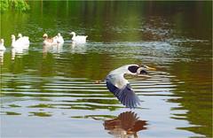 heron (atsjebosma) Tags: heron pond vijver reiger bird vogel reflection geese atsjebosma groningen thenetherlands nederland may mei 2017 ngc coth5 npc