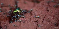 Rózsabogár (Erdei Zoltán) Tags: rózsa bogár rózsabogár insect rovar hangya harc támad