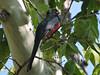 DSCN9496 (David Bygott) Tags: usa arizona bird eleganttrogon madera