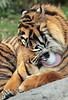 sumatran tiger emas blijdorp JN6A8107 (joankok) Tags: tijger tiger emas blijdorp sumatraansetijger sumatrantiger pantheratigrissumatrae kat cat asia azie sumatra mammal zoogdier dier animal