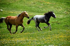Spring (Japo García) Tags: spring primavera caballos galope galopar crines dos prado flores verde campo foto japo garcía nikon spirit