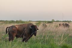 Kankakee Sands © Jason Whalen/Big Foot Media (JWhalenPhotography) Tags: 2017 bigfootmedia bison indiana jasonwhalen kankakee kankakeesands nature spring prairie