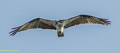 Osprey (rumerbob) Tags: osprey ospreyflying birdofprey bird birdwatching birdwatcher birdinflight raptor peacevalleypark lakegalena wildlife nature naturewatcher canon7dmarkii canon100400mmlens soaring