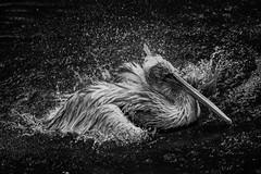 Set It All Free (Anna Kwa) Tags: dalmatianpelican bird splash moment annakwa nikon d750 afsnikkor70200mmf28gedvrii my free always dream seeing heart soul throughmylens setitallfree beyou fly destiny life fate lost