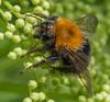 tree bumblebee (mohhus) Tags: beemacro