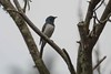 _CGN8318 (Avian51) Tags: birds flycatcher leaden