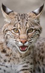 Reveille (montusurf) Tags: bobcat predator baby little cameron park zoo waco texas smile