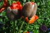 "Mohnblume (Gartenzauber) Tags: ngc npc floralfantasy coth alittlebeauty coth5 sunrays5 naturethroughthelens ""doublefantasy"" floralaromas fleursetpaysages sony"