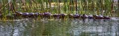 8783-  Turtle Island (canuckguyinadarkroom) Tags: turtles nature crazy unexplained