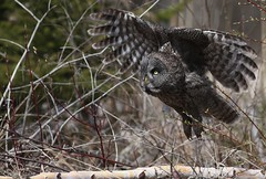 Great Gray Owl taking off. (Guy Lichter Photography - 3.4M views Thank you) Tags: greatgrayowl owls owl birds bird animals animal wildlife manitoba canada 5d3 canon