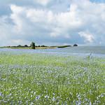 Flax thumbnail