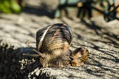 Mum&son (ambrama) Tags: snail lumaca nikon nikkor d7000 macro natura