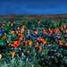 Moonlit Dawn in the Flower Fields