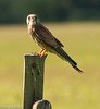 DSC_5913 (Thank you for looking.) Tags: kestrel yorkshire birds nikond800 manfrottotripod nature wildlife