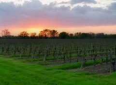 Vineyard Sunset (NettaT) Tags: sunset sky clouds vineyards niagaraonthelake country pink golden