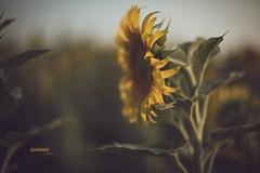 Summer is here _ week 24/52 (pierfrancescacasadio) Tags: girasoli giugno2017 15062017840a1361 sunflowers summer 50mm sunset estate vintage summerishere