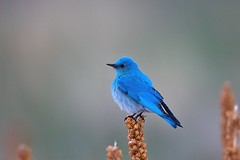 Mountain Bluebird (Andrej Chudy) Tags: bird birding birdwatching usa america trip canon wild wildlife animal nature outdoor arizona fullframe canon600mmf4isusm canon1dx 1dx northamerica naturephoto blue
