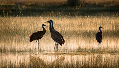 Sandhill Cranes - Explore (alicecahill) Tags: california sandhillcrane wild sierravalley ©alicecahill bird dawn golden wildlife sierracounty usa animal