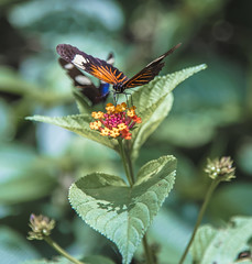 Addicition (dhayvat) Tags: color nature flower summer leaf butterfly animal fly insect garden wildlife flora outdoors wing antenna wild biology invertebrate no person brazil lepidoptera puerto maldonado amazonian