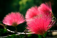 Red Albizia (Yuka Ogava) Tags: green macro summer albizia biology blooming blossom botanical closeup colour daylight exotic floweringtree flowers fluffy fuzzy garden mimosa nature paradise pink plant pollen red silktree siris stamens sunny tropical tropics uncommon unusual pokhara nepal