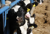 pawu044 (Otwarte Klatki) Tags: krowa krowy mleko zwierzęta cielak ferma andrzej skowron