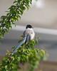 Azure-winged magpie (Big Ben in Japan) Tags: azurewingedmagpie bird japan kawasaki plumtrees