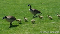 May 13, 2017 - A Canada Goose family out for a walk. (David Canfield)